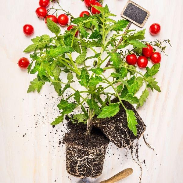 Tomato plant root configuration