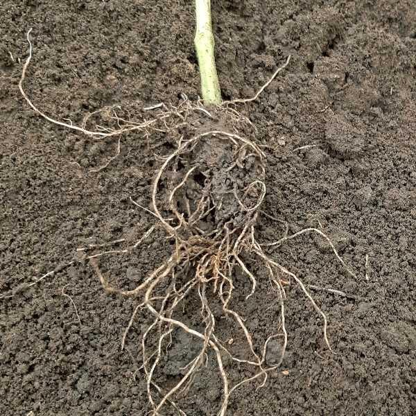 Tomato root