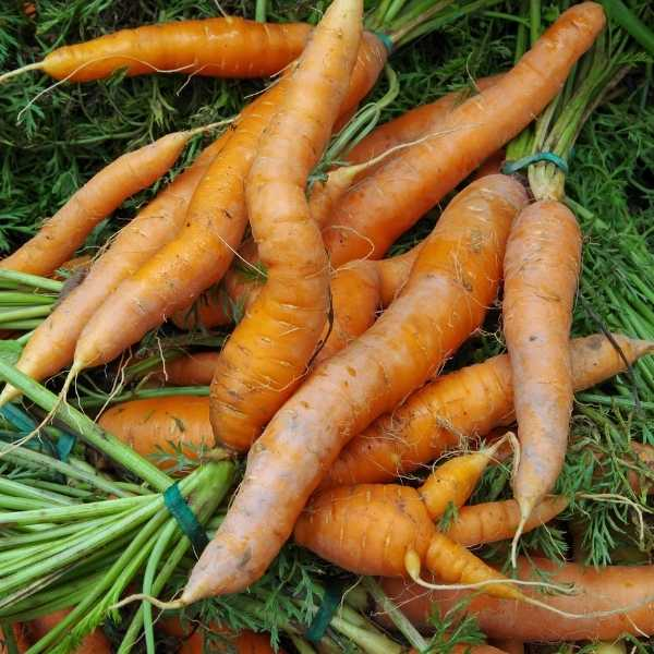 Different sizes and shapes of carrot roots
