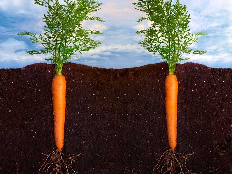 Is carrot a taproot or fibrous root