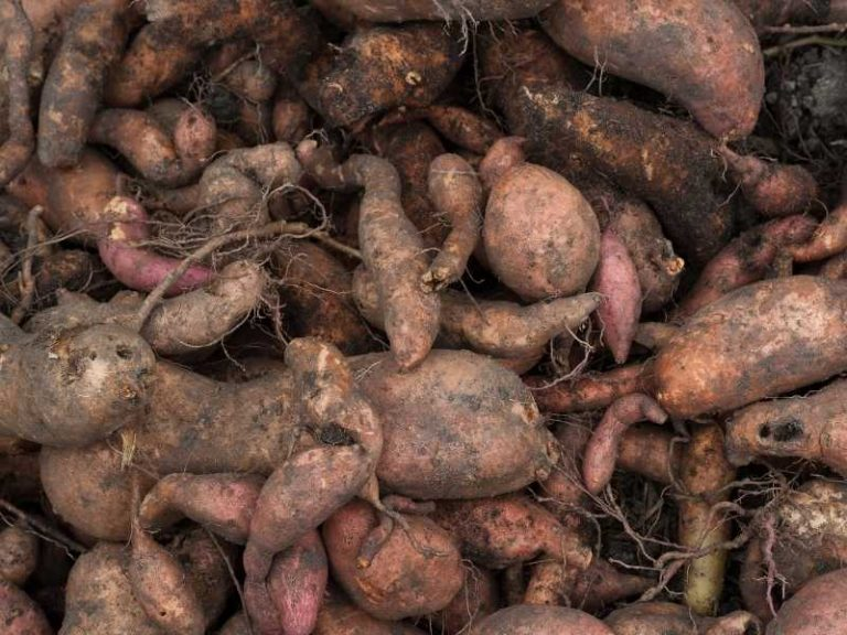Is Sweet Potato a Taproot?