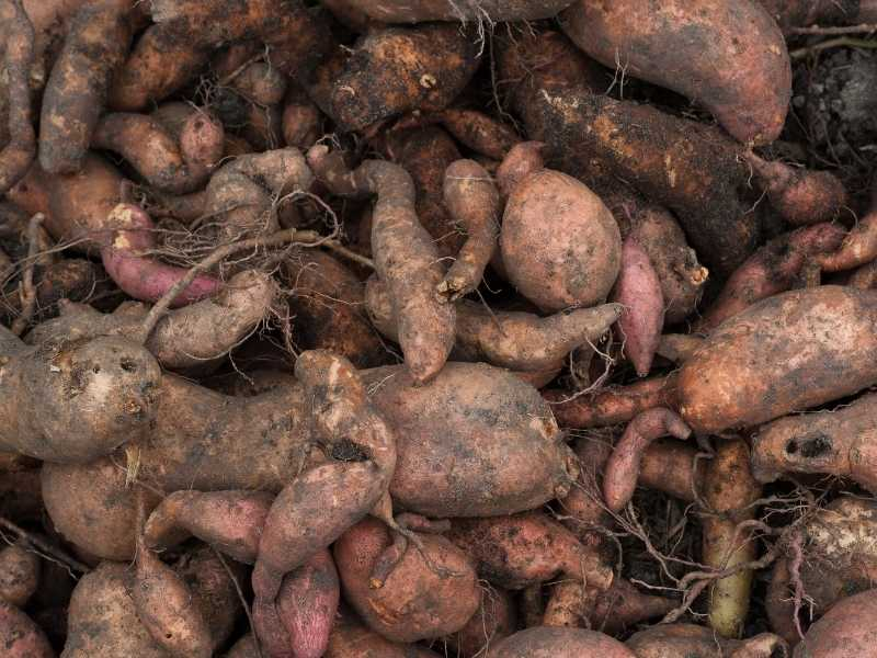 Is sweet potato a taproot or fibrous root
