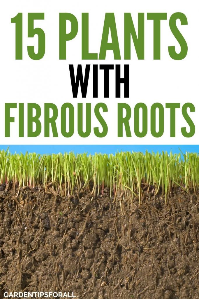 Plants with fibrous root system