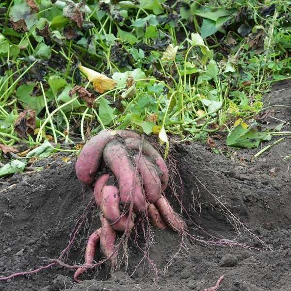 Potato is a modified fibrous root