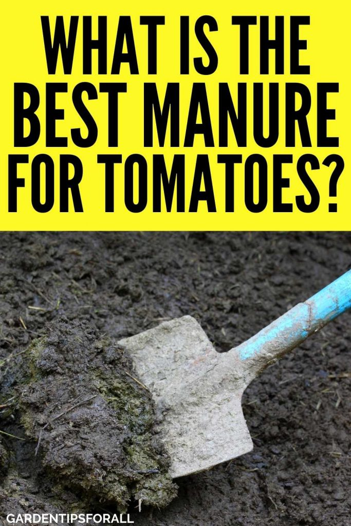 What manure is best for tomatoes
